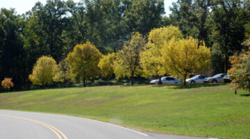 bright-yellow-trees-in-a-row