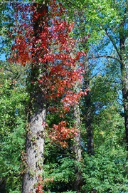 colorful-red-tree-among-green-trees.jpg