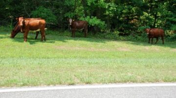 Cows Grazing On The Natchez Trace Parkway