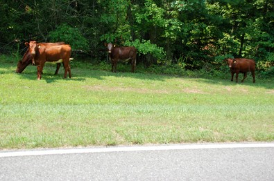 cows-grazing-on-the-parkway.jpg