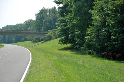 cows-on-natchez-trace-parkway.jpg