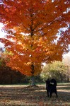 Dog in front of tree with bright orange colored leaves... he spotted a deer in the distance.