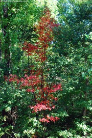 one-red-tree-in-a-sea-of-green.jpg