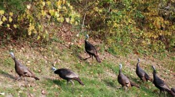 Turkeys On The Trace: Big Ones… And Baby Ones!