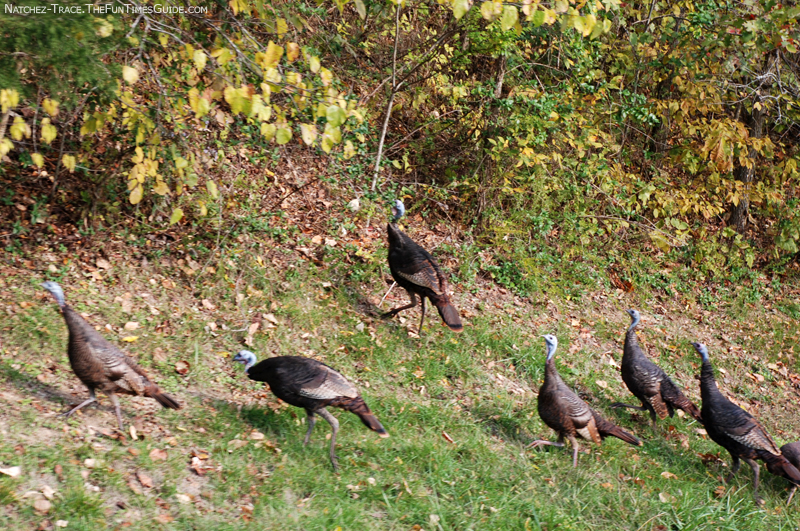Turkeys On The Trace: Big Ones... And Baby Ones! | The ...